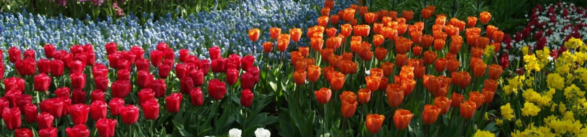 Organizuojama išvyka į tulpių žydėjimo šventę